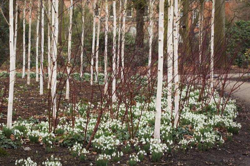 Snow Queen Birch Trees For Sale Buy Online Ashridge