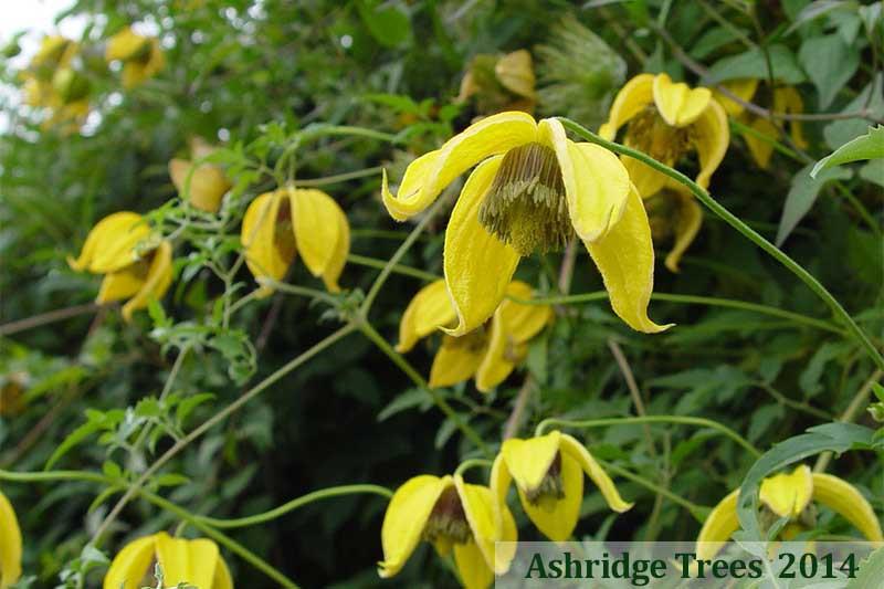 bill mackenzie tangutica clematis plants ashridge nurseries. Black Bedroom Furniture Sets. Home Design Ideas