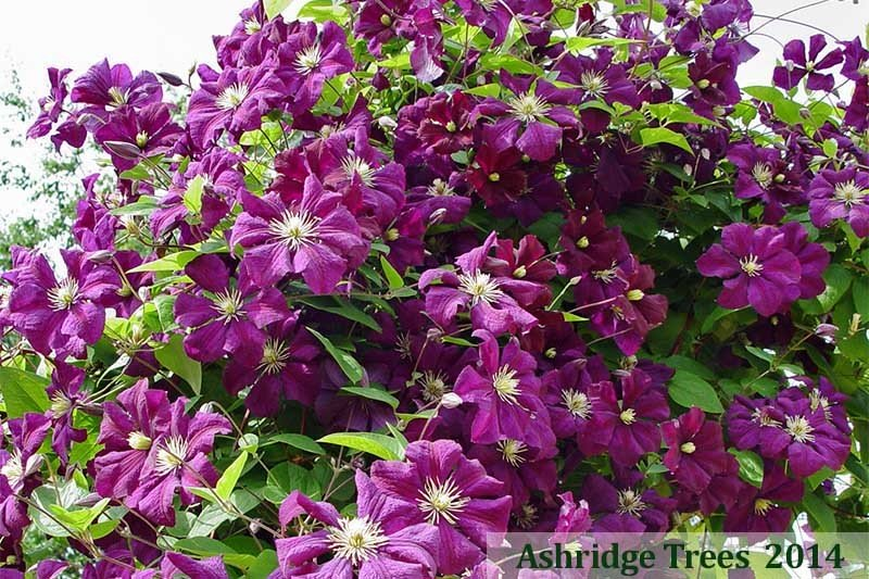39 etoile violette 39 climbing clematis for sale. Black Bedroom Furniture Sets. Home Design Ideas