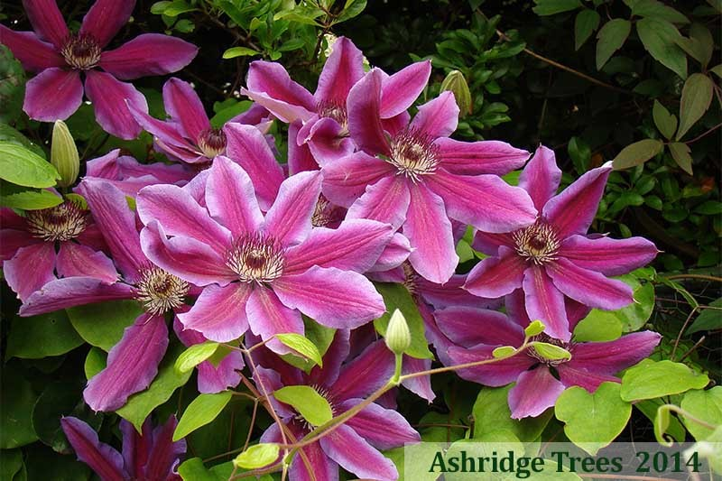 Fireworks Clematis For Sale