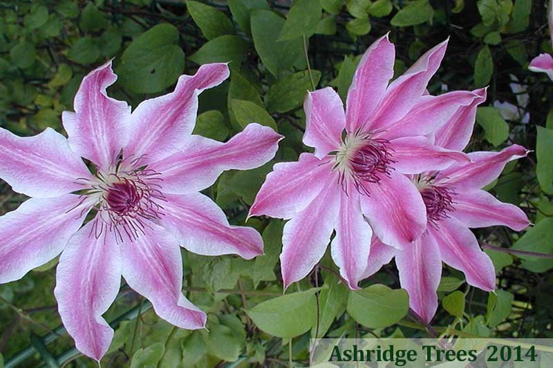 Lincoln Star Clematis For Sale