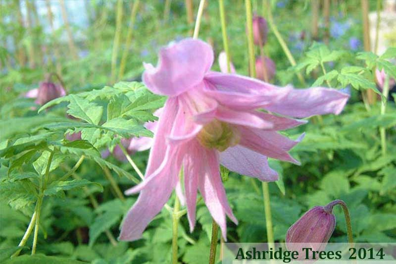 Markhams pink clematis for sale clematis markhams pink mightylinksfo