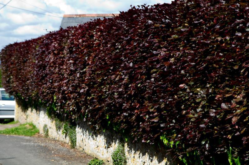 Copper Beech Hedging Order Online Ashridge Nurseries