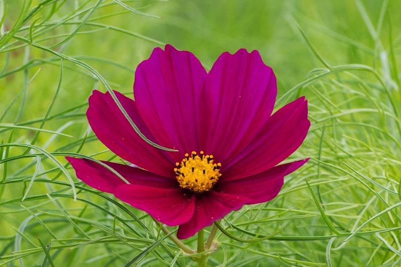 Cosmos Dazzler Seedlings For Sale Online Ashridge Nurseries