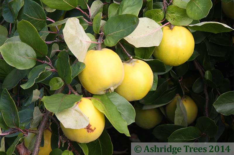 Serbian Gold Quince Trees Buy Online Ashridge Nurseries