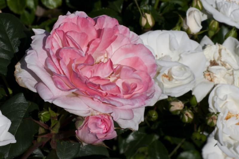 English Miss Rose Bushes Order Online Ashridge Nurseries