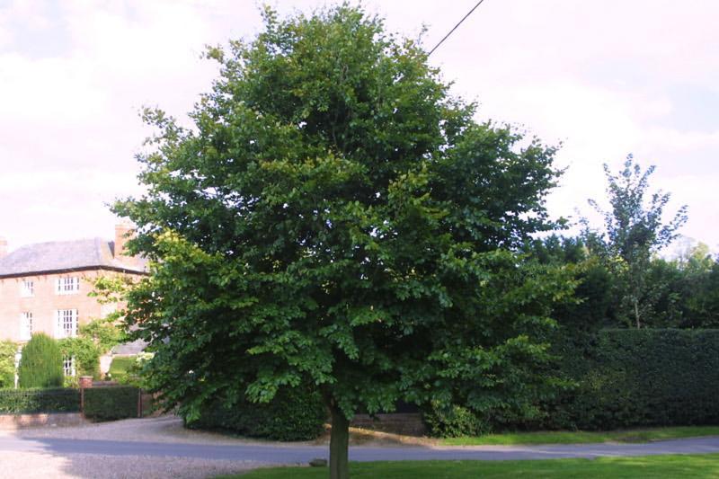 Green Beech Trees Buy Online Ashridge Nurseries