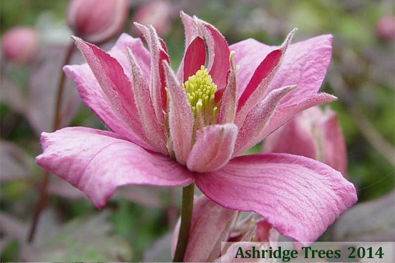 How to grow Clematis in pots and containers