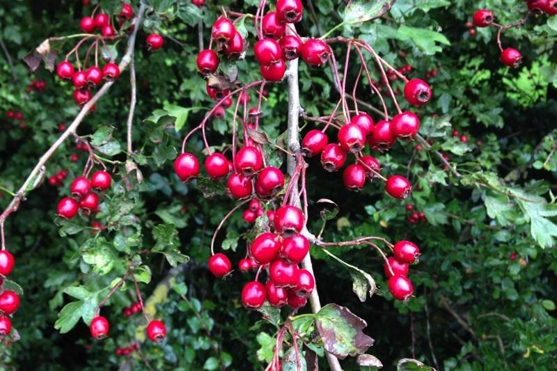 Bareroot Hawthorn Hedging Plants For Sale Online