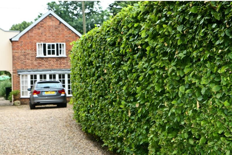 Hornbeam Hedge Plants For Sale Carpinus Betulus