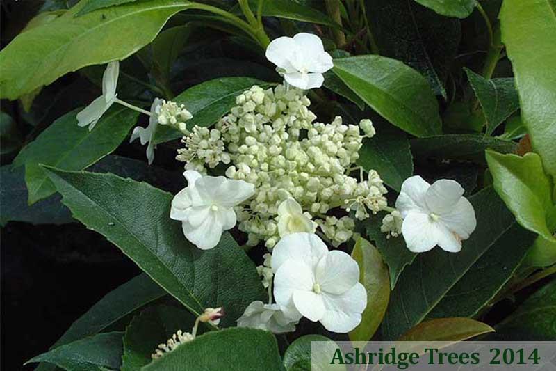 Seemannii Hydrangea Buy Online Ashridge Nurseries