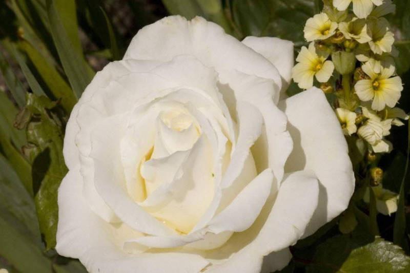 Ice Cream Rose Bushes For Sale Uk Grown Ashridge Nurseries