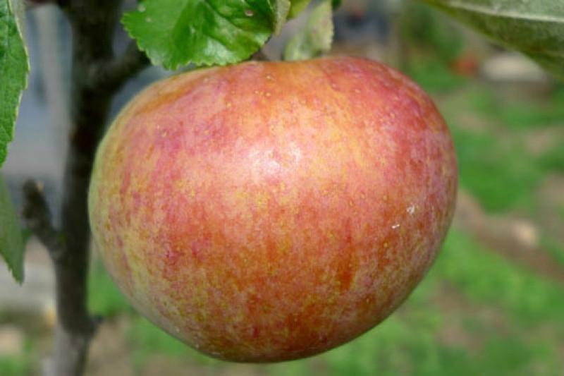 Irish Peach Apple Trees Buy Online Ashridge Nurseries