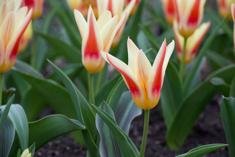 Buy Johann Strauss Dwarf Tulip Bulbs Ashridge Nurseries
