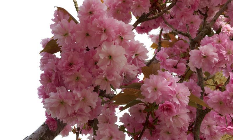 Kanzan Japanese Cherry Blossom Trees For Sale Ashridge Nurseries