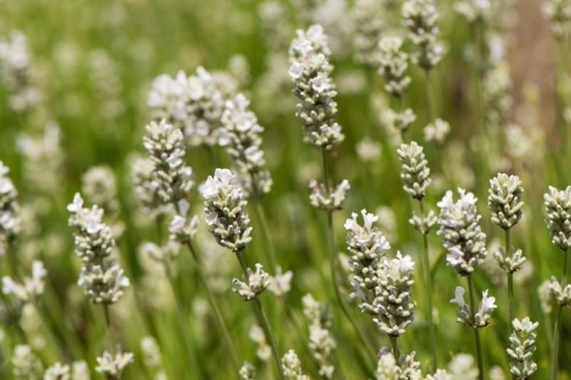 White Lavender Plants Lavandula Angustifolia Alba