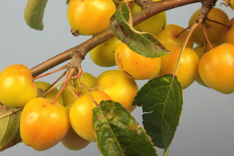 Crab Apple From Fruit
