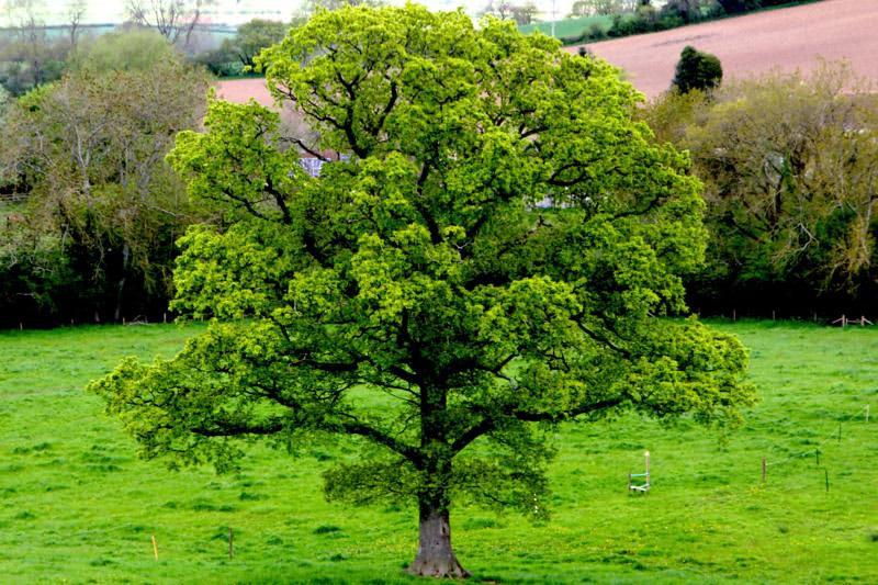 Buy Bareroot Quercus Robur Online Ashridge Trees