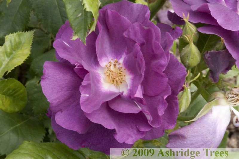 rhapsody in blue shrub rose ashridge nurseries. Black Bedroom Furniture Sets. Home Design Ideas