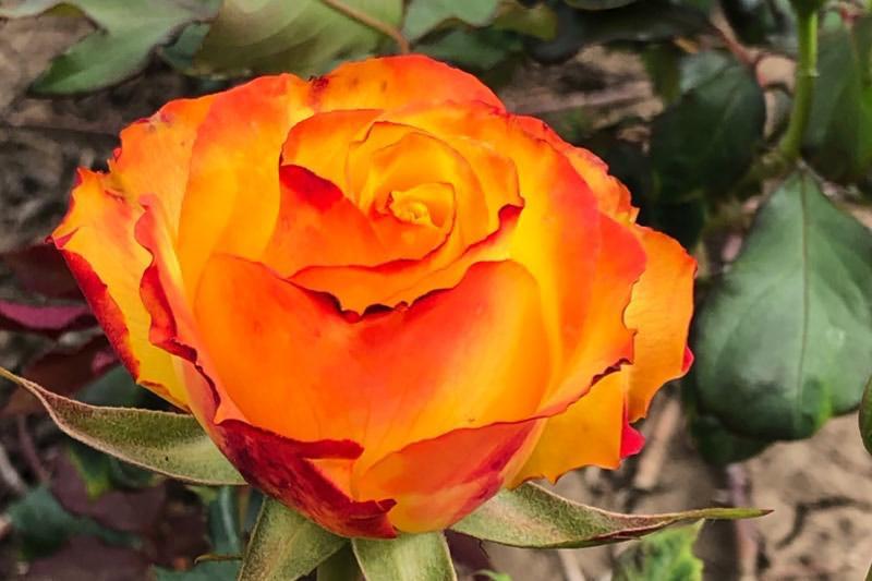 Tequila Sunrise Roses From Ashridge Nurseries