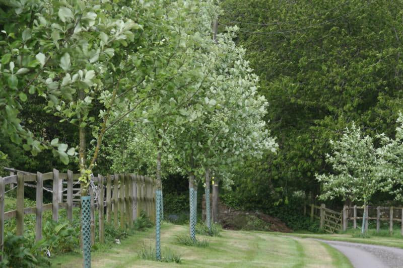 Sorbus Aria Standard Whitebeam Trees Ashridge Nurseries