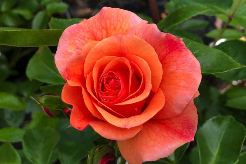 Summer Beauty Floribunda Roses Ashridge Nurseries