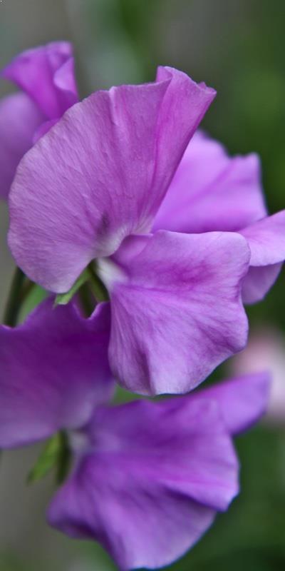 Solitude Sweet Pea Seedlings Buy Online Ashridge Nurseries
