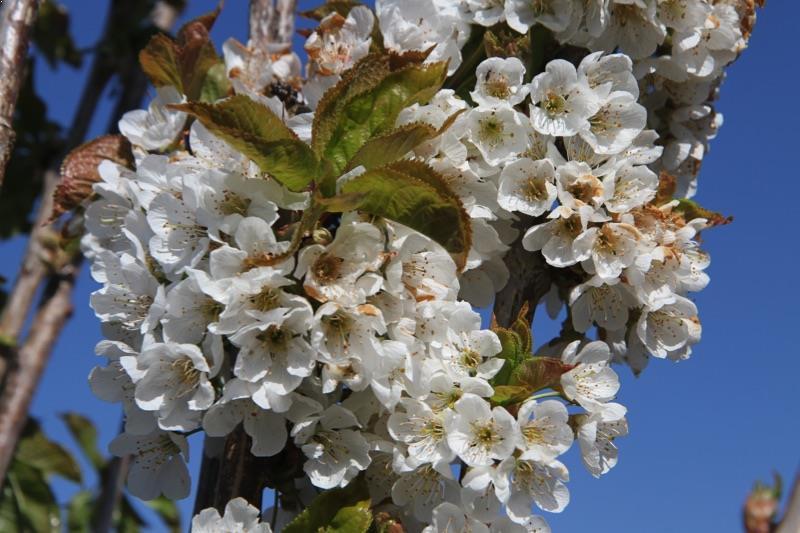 Vega cherry trees for sale ashridge trees for Cherry trees for sale