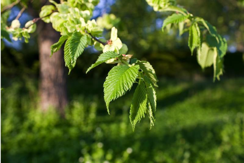 wych elm hedging order online ashridge nurseries