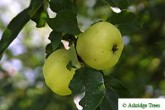 Early Victoria Apples