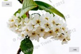 Bird Cherry in Flower