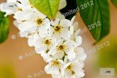 Bird Cherry flowers in April/May