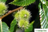 Sweet Chestnuts in their Husks