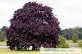 Fagus sylvatica purpurea - Copper Beech Tree