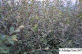 Cotoneaster franchetii Hedge