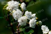 Double white hawthorn in flower