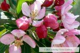 Crabapple in flower