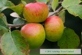 Crawley Beauty Apples