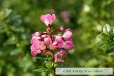Escallonia Apple Blossom Flower