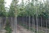 Tilia euchlora for pleaching with 180cms trunks