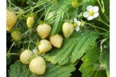 Leo Alba White wild Strawberries