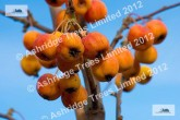 Everest Crab Apples