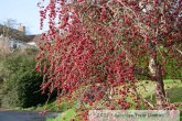Red Sentinel Crab Apple Tree laden with fruit in mid January