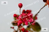 Royalty Crabapple Blossom