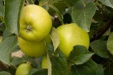 Apple Trees - Greensleeves