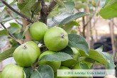 Apple Trees - Michelin - Cider