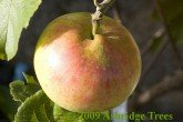 Apple Trees - Newton Wonder