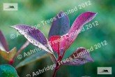 Photinia Red Robin foliage