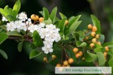 Pyracantha Golden Sun- Potted