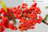 Red Pyrancatha Plant & Berries
